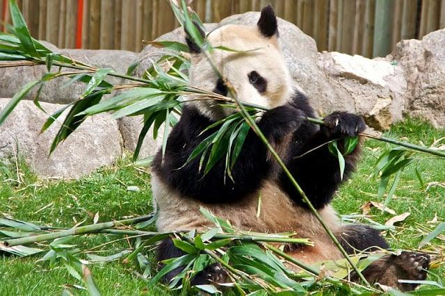 Panda no Zoo de Madri