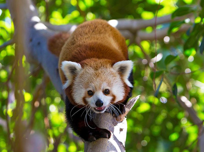 Panda Vermelho no Loro Parque em Tenerife